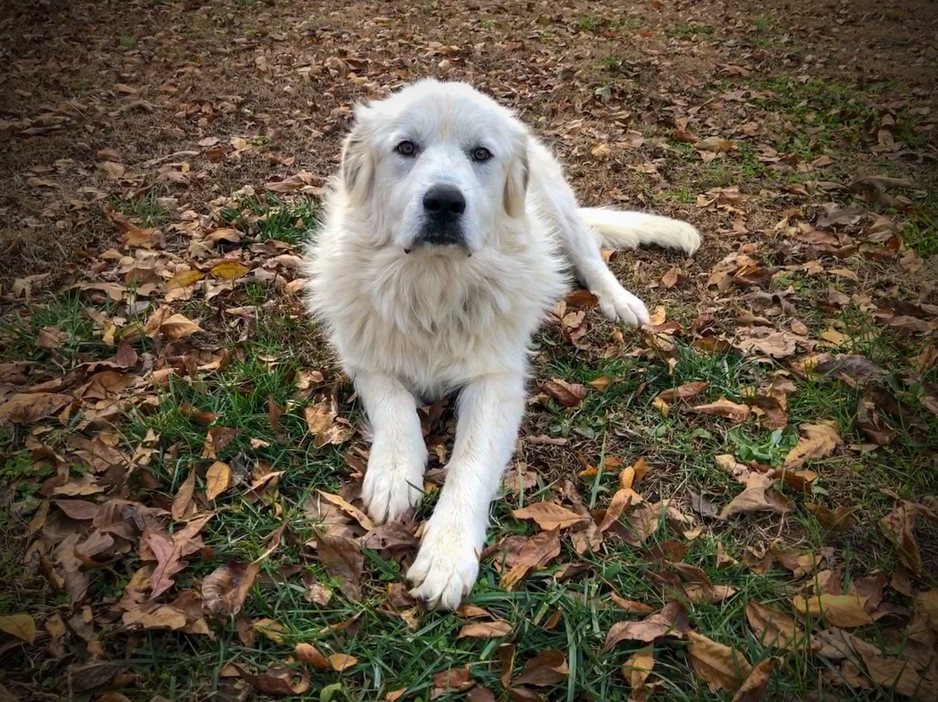 Great Pyrenees dog in autumn
